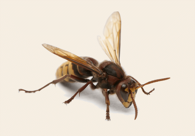 Close-up photo of a hornet. Front-side angle.