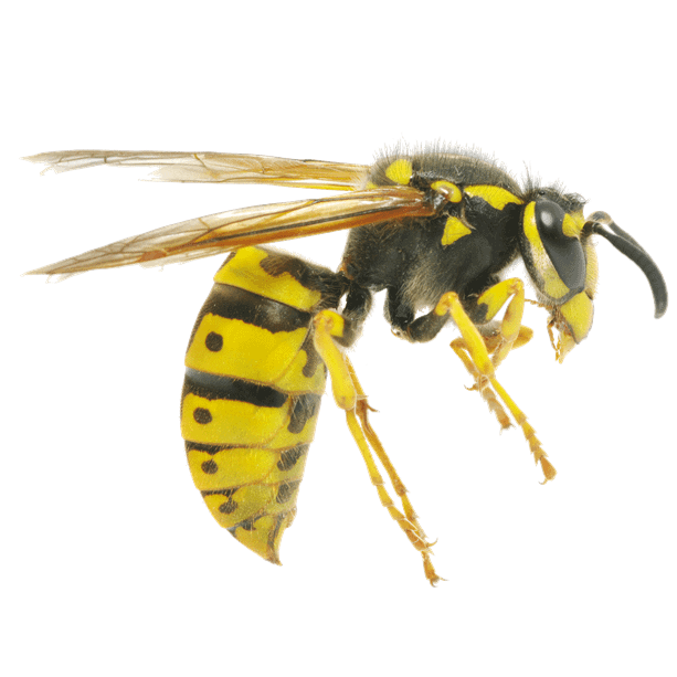 Close-up photo of a wasp. Side view.