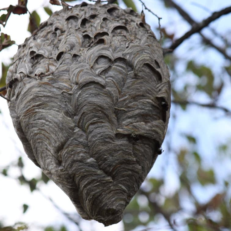Photo of a hornet nest in a tree.
