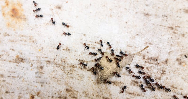 Trail of pavement ants