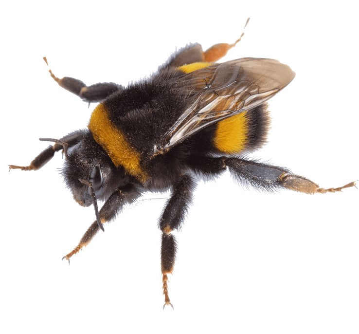 A close-up photo of a bumble bee.