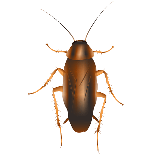 Realistic drawing of a german cockroach