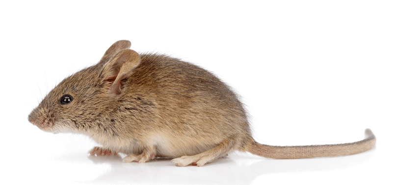 Photo of a common house mouse. Side view.