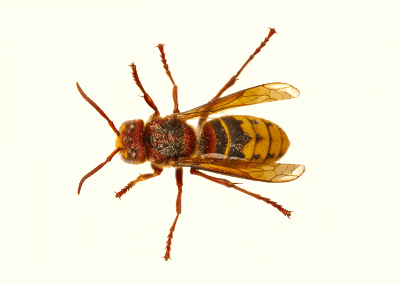 Close-up photo of a hornet. Top view.