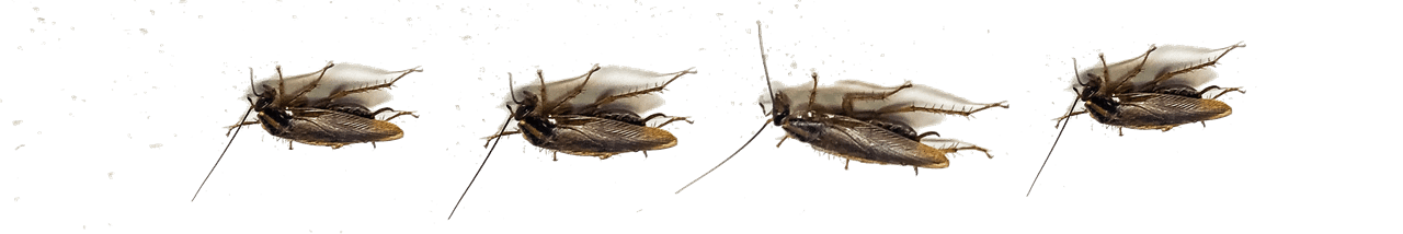 Photo of a row of cockroaches walking on the ceiling