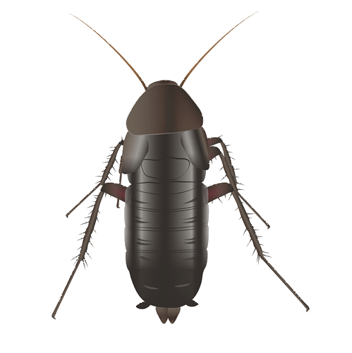 Realistic drawing of an oriental cockroach