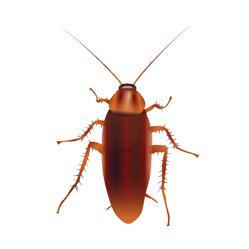 Realistic drawing of an american cockroach