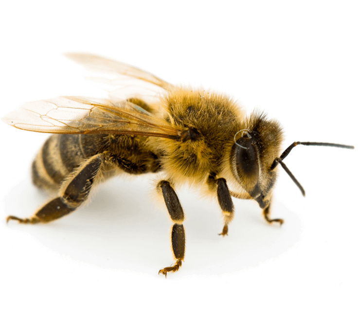 A close-up photo of a honey bee