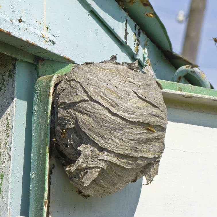 Photo of a hornet nest on the side of a shed, showing no shelter from weather is needed for a hornets' nest