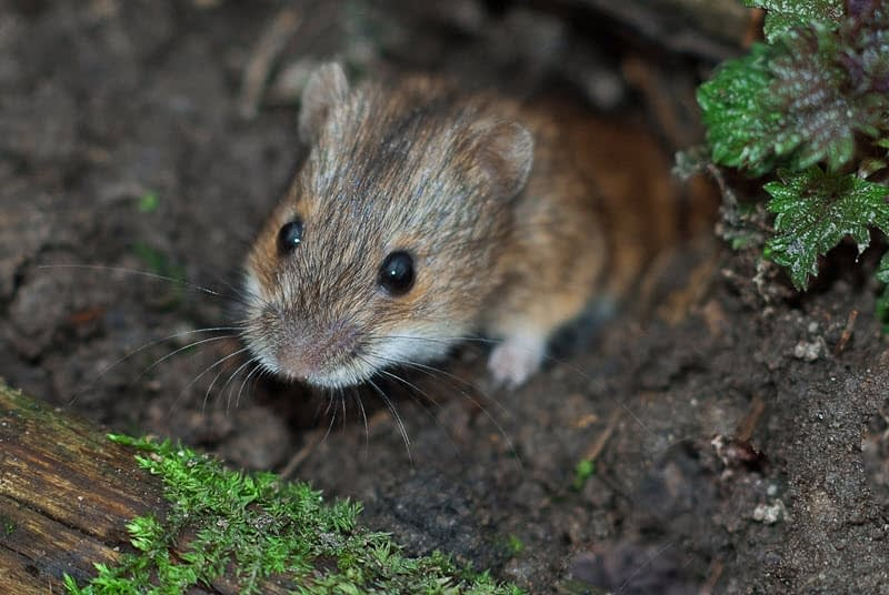 A vole peaking out of a burrow