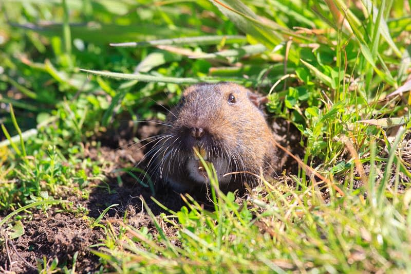 Photo of a pocket gopher peering out from a burrow