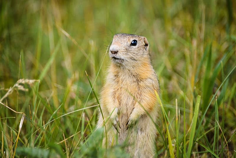 Photo of a ground squirrel standing on hind legs