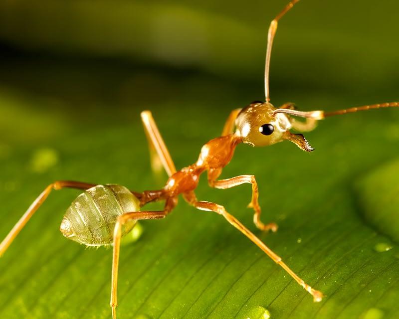 Close-up photo of a pharaoh ant