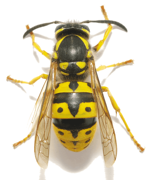 Close-up of a wasp. Top view.