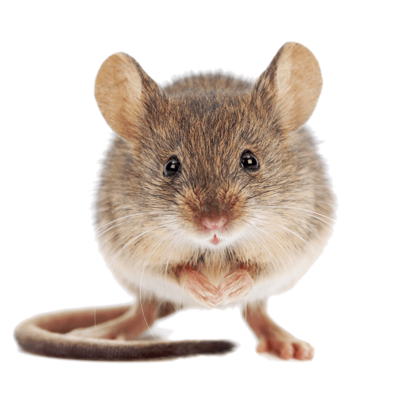 Cute photo of a common house mouse standing on hind legs.