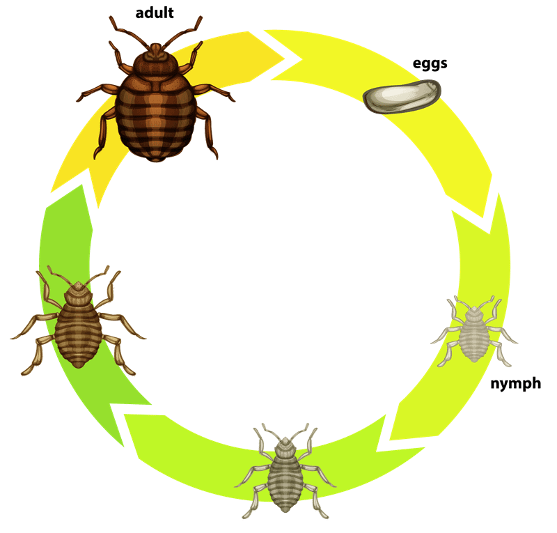 Diagram of the life cycle of bed bugs egg to nymph to adult