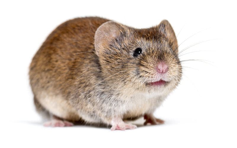 Isolated photo of a meadow vole. Front view.